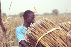Récolte des épis de mil au Burkina