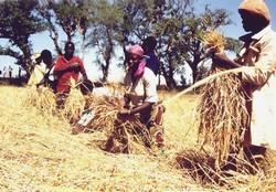 Récolte des céréales au Mali