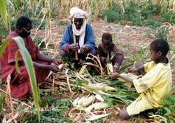 Conseil technique sur la qualité du maïs au champ
